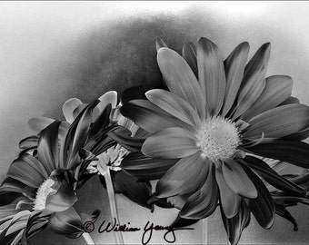 Daisies in Black and White (5583), Fine Art Photography, Black and White, Floral Photography, Floral Print, Flower Photography, Flower Print