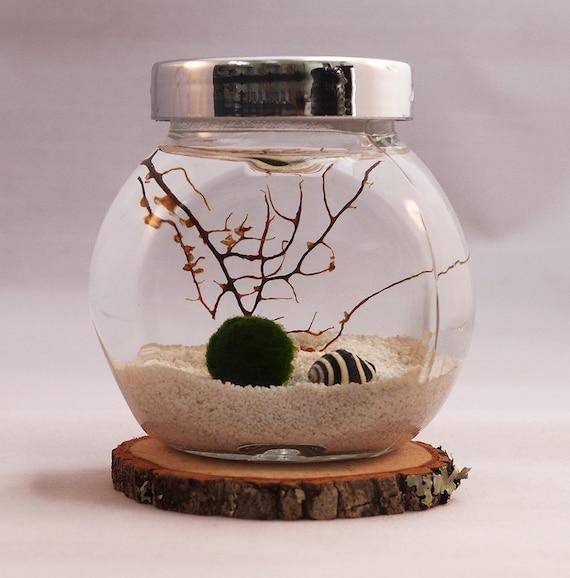 Marimo terrarium aquatic living moss ball home decor