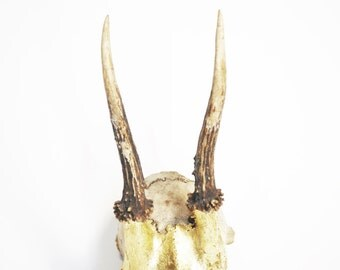 Real Deer skull with gold decor