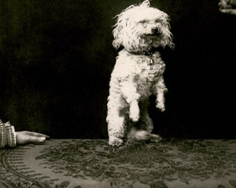Photo of a cute dog on hind legs Paris, 1890s