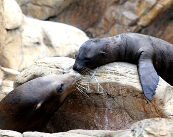 California Sea Lion Pup and Mother