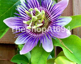 "Passion Flower Photo - Purple Flower Photo - Purple Passion Flower - Instant Download - ""Passion Flower"""