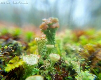 Pixie Daydream 3, Pixie Cup Lichen and Moss Macro Nature Photograph, Print or Stretched Canvas Wall Art