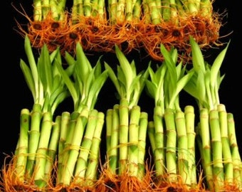 100 Stalks Of 4 Inch Straight Lucky Bamboo  (FREE SHIPPING)