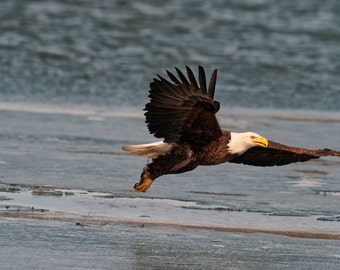 Dinner to Go - Bald Eagle Photograph - Fishing Bald Eagle Photograph - Bird Photograph - Free Shipping