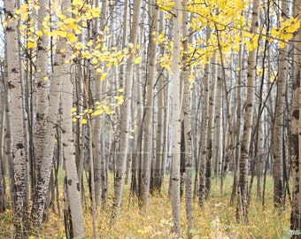 The Grove of Torches {PRINT - Colorado Photography - Aspen Photography - Aspen Grove - Autumn Leaves}