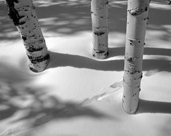 Black and White Nature Photograph - Aspen Shadows