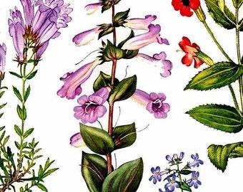 Stokesia Liatris Coneflower Aster Flower Central North America Botanical Exotica Large Vintage Illustration To Frame 164
