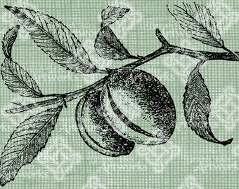 Digital Download Almond Branch, Nut Antique Illustration  c. 1900, digi stamp, digital stamp, Digital Transfer