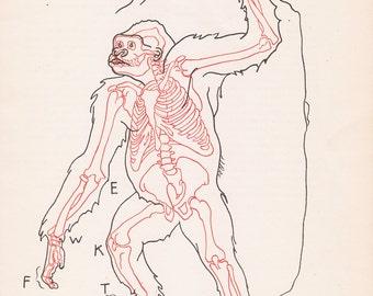 Vintage Gorilla Anatomy Print Skeleton Illustration Book Plate Color Animal