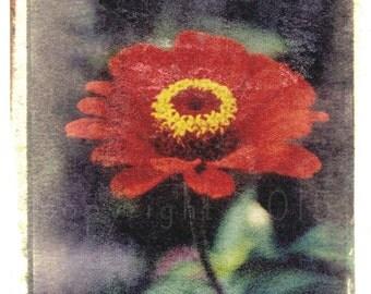 Polaroid transfer - Red Zinnia