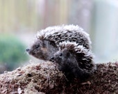 Tiny Hedgehog pair Needle felted