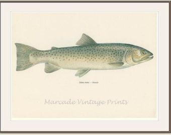 Vintage Fish Print, 1970 (27) Sea Trout, Salmon, Salmo Trutta, Female, Royal Fish, Salt, Fresh Water, Jiri Maly, Ichthyology,