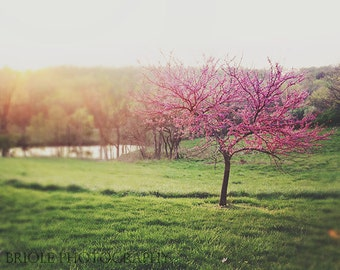 Landscape Photography, Spring Nature Photograph, Red Bud Tree Fine Art Print. Pink Wall Art, Home Decor, Pretty Picture St Louis Queeny Park