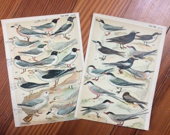 1904 set of 2 bird prints original antique ornithology print color lithograph - shore birds gull tern