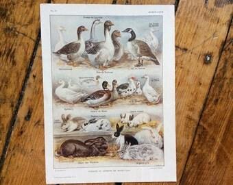 1900 FARM ANIMALS print original antique animal lithograph - duck goose canard geese hare rabbit lapin