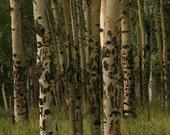 Fall Fine Art Nature Photography, Woodland Park Colorado, Landscape Photograph, Nature Photograph, Green, Digital Download