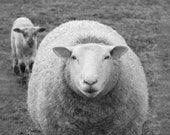 Sheep Photography Sheep Animal Photography