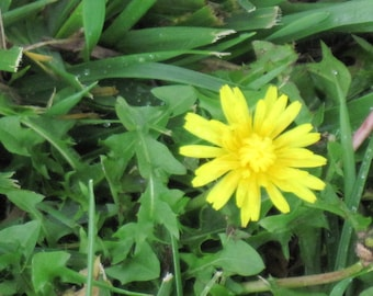 YELLOW DANDELION Dry Oil Body Spray in New Springtime Container  Natural Blendings Most Popular Product in 2 sizes Custom Fragrance
