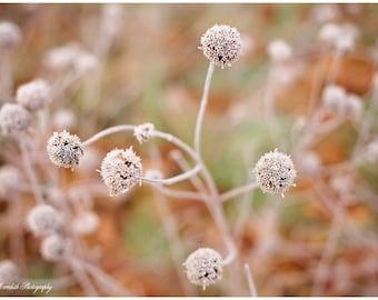 Frozen Pom Poms, Floral Photography, Flower Photography, fine art photography