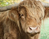 Highland Cattle 19 - Fine Art Photography - Highland Cow - Nature Photography