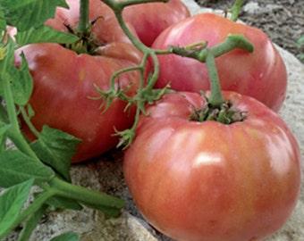 Tomato GIANT SYRIAN- Hardy Live Plants-Organic Heirloom Tomato Plants