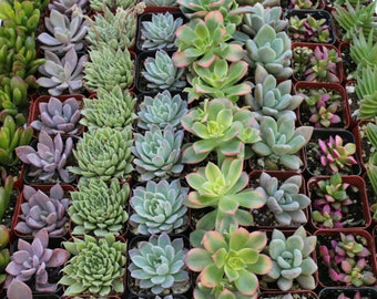 200 Beautiful Succulents Wedding Party Gift Favors or WEDDING FAVORS in their plastic 2 inch Pots echeverias succulent~