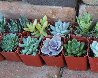 "SAMPLE 2 Beautiful 2""  Assorted potted succulent wedding favor gift"