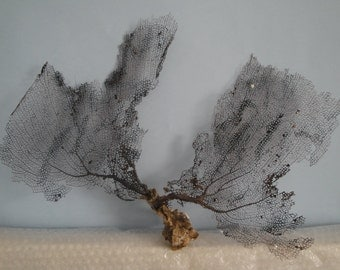 "18"" x 12.5"" Natural Black Color Caribbean Sea Fan Reef Coral"