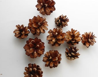25 Small Scotch Pine Cones Handpicked for Crafting