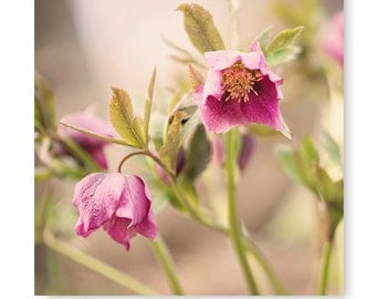 Pink Flower Photo, hellebore, flower print, cottage home decor, nature print, flowers, floral, purple flower print, for her, wall decor