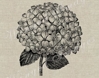 Hydrangea Blossom Instant Download Digital Image No.319 Iron-On Transfer to Fabric (burlap, linen) Paper Prints (cards, tags)