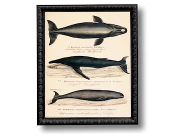 Whale Educational Chart Nautical Vintage Style Art Print Black and White Sepia Beach House Decor Natural History