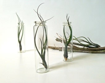 Three Funky Air Plants in Glass Tubes -- Tillandsia Butzii Air Plants in Glass Bottles, Apothecary Bottle Terrariums, Weird Air Plant Trio