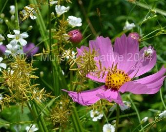 Garden Photography Purple Cosmos Wildflower Garden 5 x 7 Print C L Murphy Creative