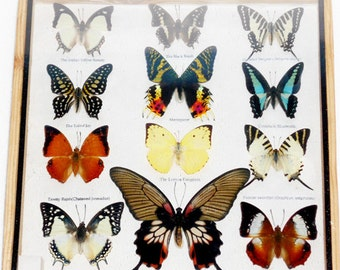 Real 12 Mix Butterfly for sale in wood frame Taxidermy / B01I