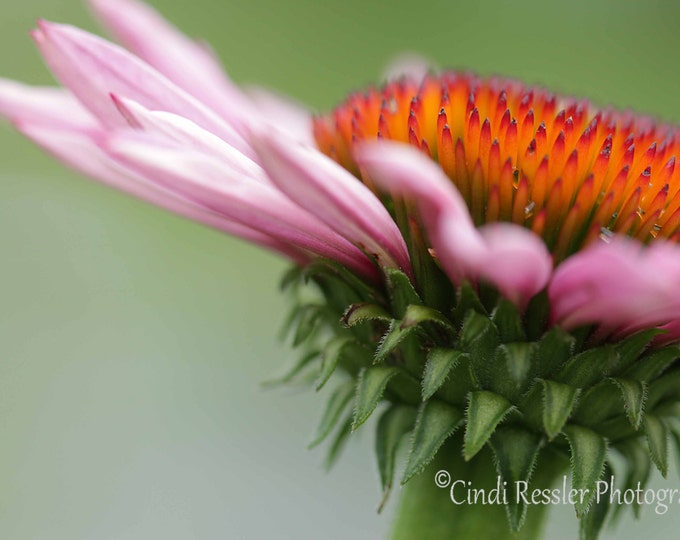 Coneflower 2, Photography,  Floral Photography, Botanical Photography