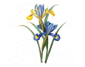IRISES Instant Download Digital Download, botanical illustration blue yellow spanish iris WEDDING clipart no.225