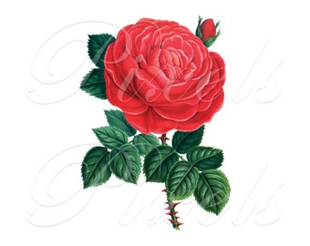 RED ROSE, Instant Download, wedding images, wedding roses, wedding invitation, rose, Digital Downloads red flowers clipart 416