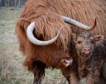 Highland cow photo, highland coo, scottish cow, farmhouse decor, rustic art, animal art,