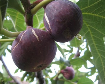 Purple Fig Tree 100 Seeds (Anatolian - Rare - Fresh)