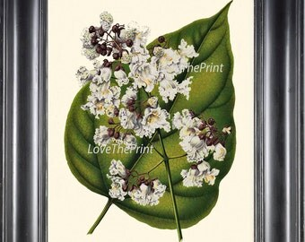BOTANICAL PRINT WITTE  Art 22 Antique Indian Bean White Pink Spring Blossoms Blooming Wildflower Green Nature Leaf Wall Decor to Frame