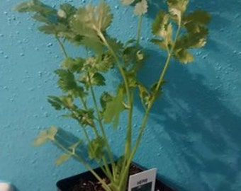 Cilantro Plants! You need this for your salsa and charro beans!
