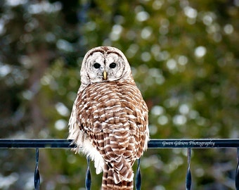 Barred Owl Picture, Owl Photography, Wildlife Fine Art, Barred Owl Canvas Print, Bird Photo, Birds of Prey, Animal Print