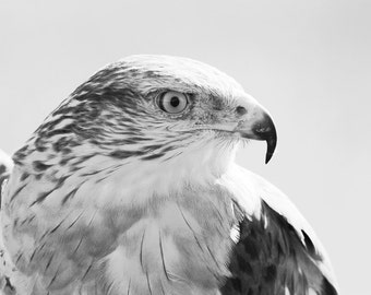 Hawk art photography, nature photo print, black and white, bird of prey picture, large canvas, wall home decor 8x10 11x14 16x20 large canvas