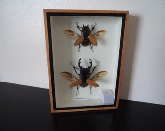 Real Stag Beetles Odontolabis Elegans Boxed Insect Display Taxidermy Entomology Zoology Bugs Beetles
