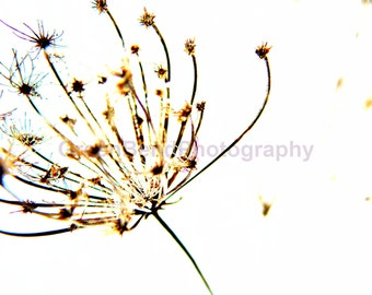 dried queen anne's lace. funky photography