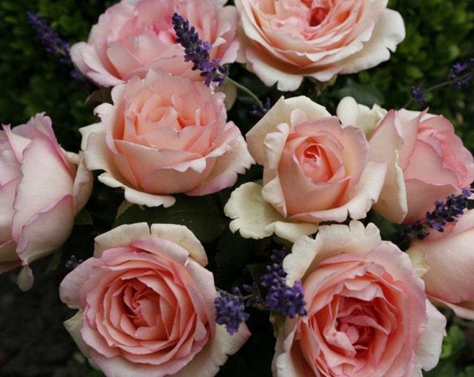Pink Enchantment Rose Bush Organic Grown Fragrant Own Root Potted Reblooming Pink Hybrid Tea Shrub Rose Plant - SPRING SHIPPING