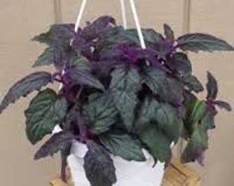 PURPLE PASSION BASIL seeds -  Heirloom