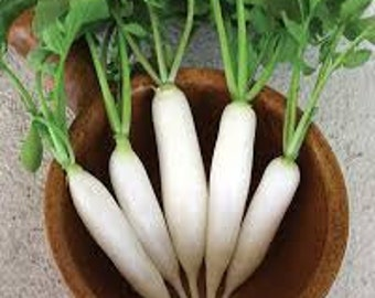 White Icicle Daikon RADISH - Heirloom seeds